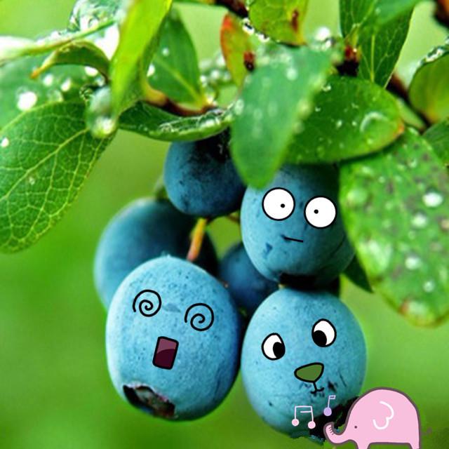 无公害非转基因绿色智利新鲜蓝莓每份3盒装